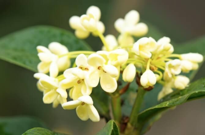 The Fragrant Tea Olive Tree Is a Gardener's Delight