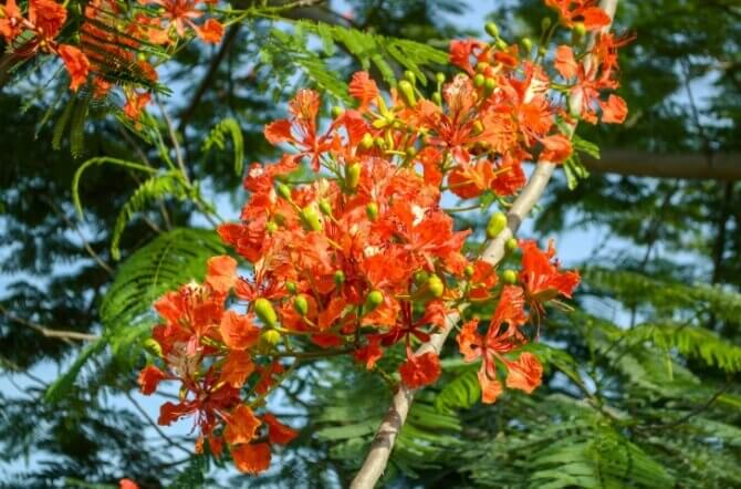 The Poinciana Tree Makes a Colorful Statement