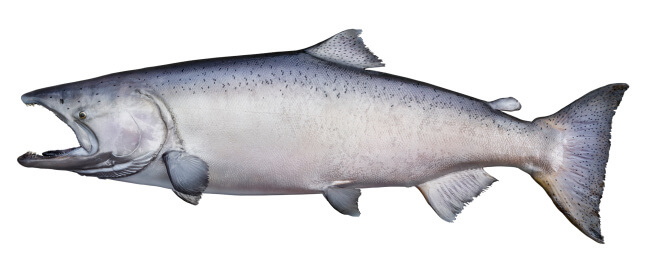 Trophy king (chinook) salmon