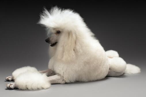 White Poodle on grey background