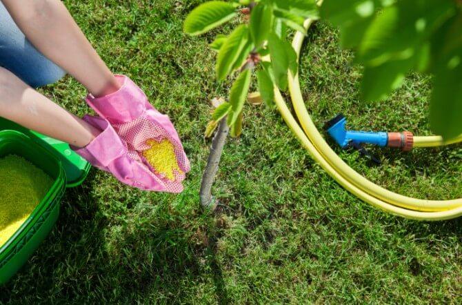 pink gloves putting fertilizer on tree