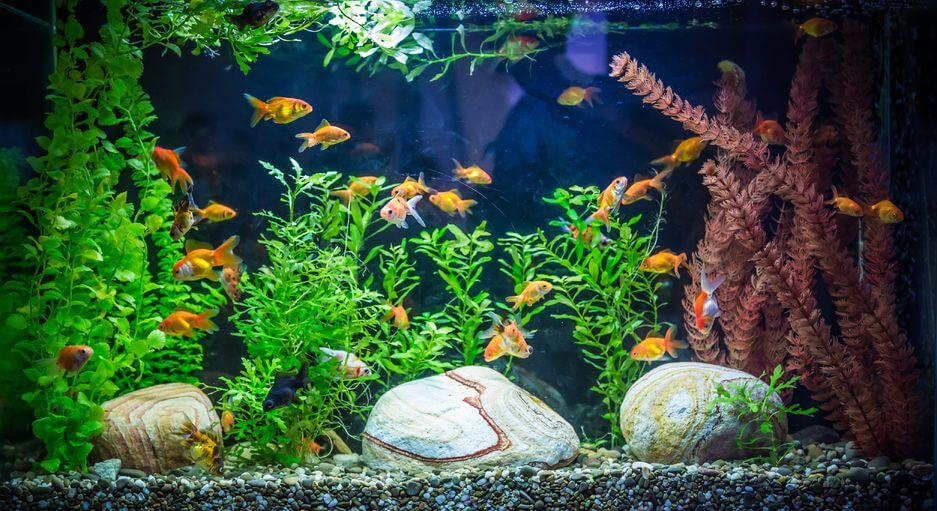 Common freshwater aquarium fish diseases enlighten me for Fungus in fish tank