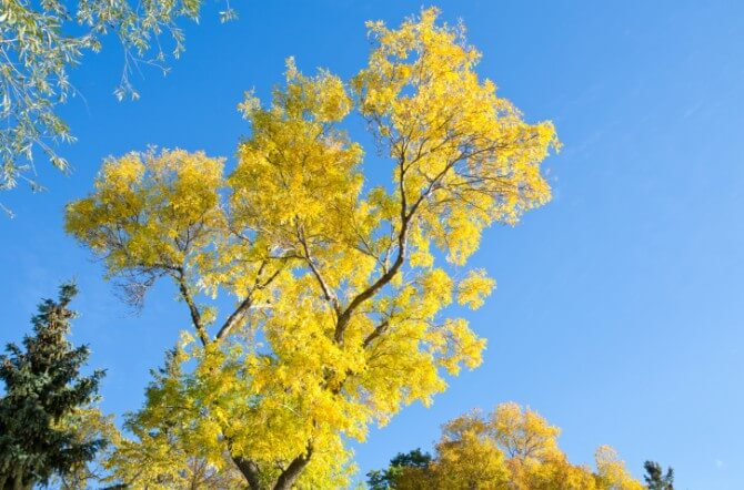 ash tree yellow leaves