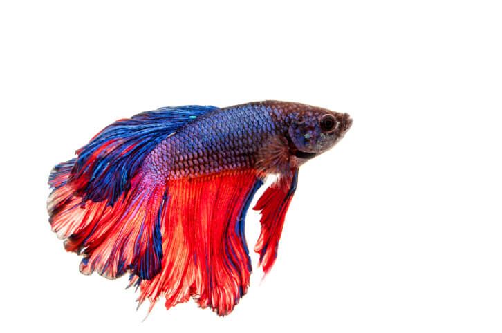 What are betta fish enlighten me for What is a beta fish