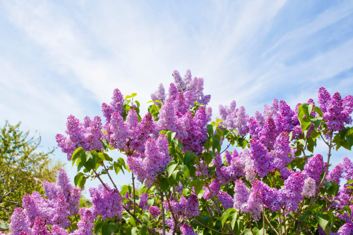 Water-Conserving Landscapes - 9 Terms to Know - Lilac Bush